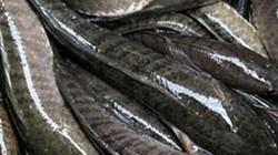 Nuôi cá lóc dày đặc trong ao lót bạt, thu 60 tấn, lời 600 triệu đồng