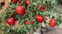 """Sợ bị lừa mua táo ghép dâm bụt, dân Việt bỏ vài triệu mua hẳn táo """"xịn"""" về trưng Tết"""