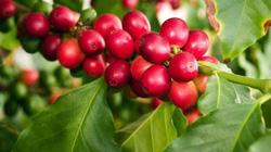 Giá cà phê hôm nay 25/1 bật tăng nửa triệu/tấn, giá tiêu èo uột