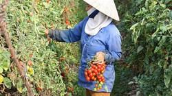 Trồng cà chua đúng cách, nhà nông Kinh Bắc khấm khá