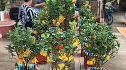 Cận cảnh vườn phật thủ mini kiếm trăm triệu dịp tết của nông dân Hà Nội