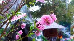 """Lạng Sơn: 400 cây đào """"đua nhau"""" khoe sắc tại Lễ hội hoa đào 2019"""