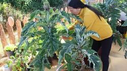 SIÊU LẠ ĐÀ LẠT: Đưa atiso lên chậu thành bonsai tiền triệu chưng Tết