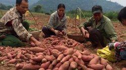 """""""Đào"""" được 40 tỷ mỗi năm từ cây khoai lang ngon nhất xứ Lạng"""
