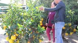 Bưởi Diễn bonsai trĩu trịt quả ngược cả ngàn cây số vào phố núi