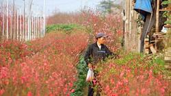 """Nắng đột ngột, đào nở bung: Chủ vườn hoa Nhật Tân than """"móm nặng"""""""