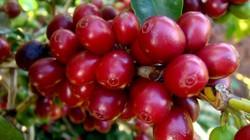 Áp Tết giá cà phê bật tăng nửa triệu/tấn, giá tiêu giảm thê thảm