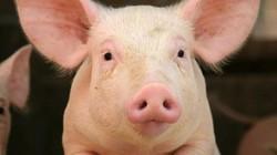 5 lý do nên nuôi lợn làm thú cưng trong nhà