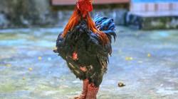 """Giáp Tết, gà Đông Tảo tại miền Nam """"cháy"""" hàng"""