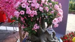 """Những cây sứ """"giật vàng, hái bạc"""" ở hội hoa xuân Phú Mỹ Hưng"""
