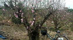 Nghề trồng đào quất: Người thu bạc tỷ, người trắng tay