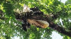 Luật bất thành văn trong giới săn ong của cao thủ miền núi xứ Quảng