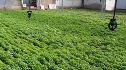 Làm giàu khác người: Trồng loài rau dại nhiều nơi vứt đi, kiếm bộn tiền