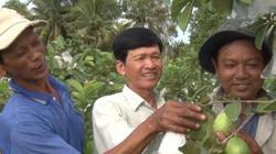 Kiên Giang: Trồng ổi lê Đài Loan, nhẹ công chăm lại không dội chợ