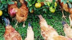 Kiếm tiền dịp Tết: Chăm cam giòn, gà chạy bộ, khách tranh nhau mua
