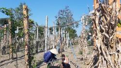 Nông dân Tây Nguyên ăn tết tại vườn, hi vọng giá nông sản phục hồi