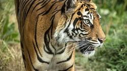 Hổ cái bị bạn tình xé xác ngay lần đầu gặp gỡ