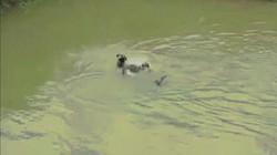 Trận kịch chiến dưới hồ nước giữa trăn gấm và cặp chó nhà
