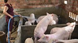 """Giá heo hơi sau Tết: Doanh nghiệp lớn """"đẩy"""" giá lợn hơi lên 53.500đ"""