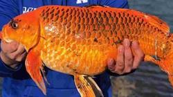 Mỹ: Câu được cá vàng khổng lồ hơn 9kg bằng loại mồi vô cùng đơn giản