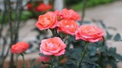 Chiêm ngưỡng vườn hồng lớn nhất Việt Nam làm vạn người mê
