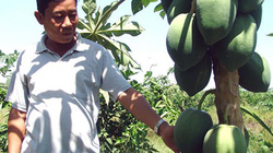 """Long An: Nông dân """"xé rào"""" trồng cây ăn trái trên đất lúa"""