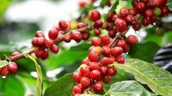 Giá cà phê hôm nay 18/2 giảm nhẹ, giá tiêu ảm đạm