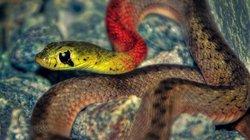 """Vẻ đẹp mê mẩn của loài rắn """"tử thần"""" cực độc bảy màu Việt Nam"""