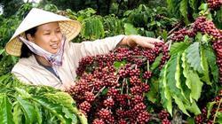 Giá nông sản hôm nay 20/2: Giá tiêu, giá cà phê lâm cảnh bi đát