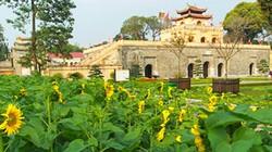 Ảnh: Vườn hoa hướng dương độc nhất vô nhị ở Hoàng thành Thăng Long