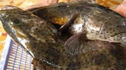 Kiên Giang: Có 263 hộ mà thu hơn 200 tỷ từ 952 tấn cá đặc sản