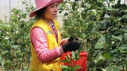 """Nông trại trồng loại quả """"thần kỳ"""", ăn 1 vài trái là tỉnh cả người"""