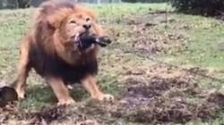 Vườn thú cho trẻ em chơi kéo co với sư tử