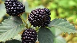 Cây ra quả quý dưới chân núi Langbiang, bán 900.000 đồng/ký