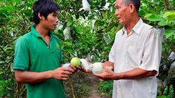 Kiên Giang: Thấy giống ổi lạ, mua về trồng, không ngờ lại bán chạy