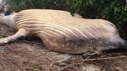 Vì sao xác cá voi dài 8 mét được tìm thấy trong rừng Brazil?