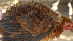 'Quái' gà lông dựng đứng xù như lông nhím, nuôi tặng chứ không bán