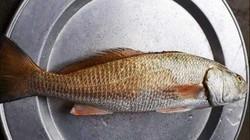 """Định xẻ thịt cá để ăn, phát hiện thứ nghi là """"quý hơn cả vàng"""""""