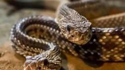 Hoảng hồn khi phát hiện 30 con rắn chuông ẩn nấp ngay trong vườn nhà
