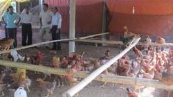 Xôn xao chuyện nuôi gà trên cát biển, cứ bán 1 con lời 30 ngàn