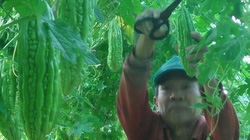 Kiên Giang: Trồng cà tím, khổ qua xanh, ruộng đẹp lại có tiền nhanh