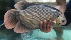 Tiền Giang: Có của ăn của để nhờ làm giống loài cá to như tai voi