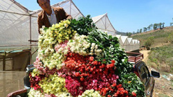 Lâm Đồng: Sắm xế hộp đi trồng hoa hồng dưới chân núi Langbiang