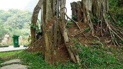 """Bí ẩn xung quanh cụ đa nghìn năm """"biết đi"""" quanh đền cổ ở Ninh Bình"""