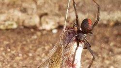 """Rắn độc bị nhện cực độc """"treo cổ"""" trên cao chết thảm"""