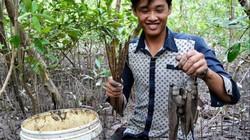 Cà Mau: Ly kỳ chuyện săn loài cá chạy trên cạn, leo cây nhoay nhoáy