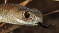 Trăn đang ăn thịt chuột thì bị rắn kịch độc tấn công và diễn biến đáng sợ