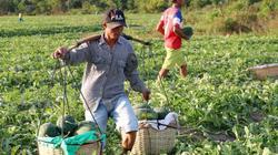 Gia Lai: Chỉ đạo xử lý bảo kê dưa và giải cứu khoai lang giúp dân