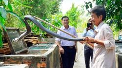 Kiên Giang: 5 năm nuôi mãng xà cực độc, bị cắn bao lần nhưng vẫn mê