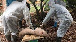 Tin mới: Có thêm tỉnh Bắc Kạn xuất hiện ổ dịch tả lợn châu Phi
